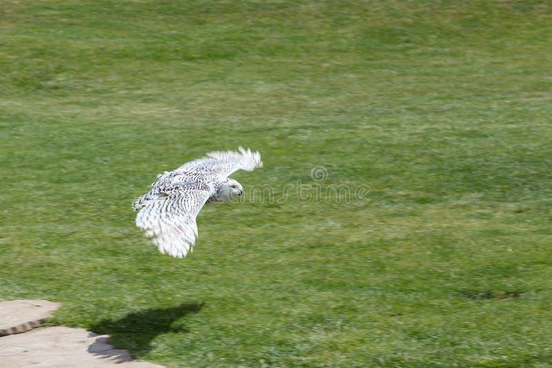 Vol blanc de hibou au-dessus de l'herbe photographie stock
