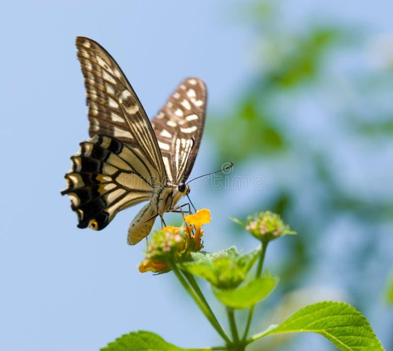 Vol coloré de guindineau de swallowtail images stock