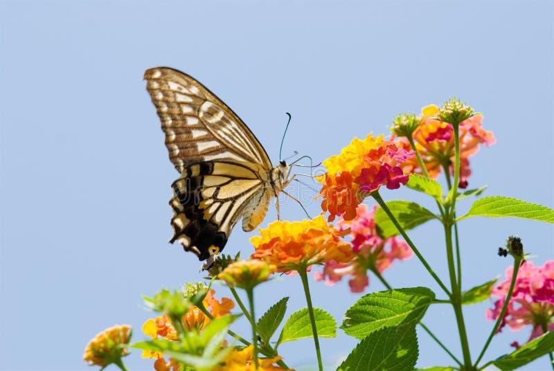 Vol coloré de guindineau de swallowtail photos libres de droits