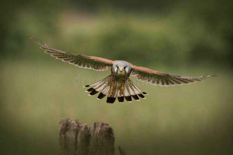Vol commun de crécerelle de mâle vers l'appareil-photo images libres de droits