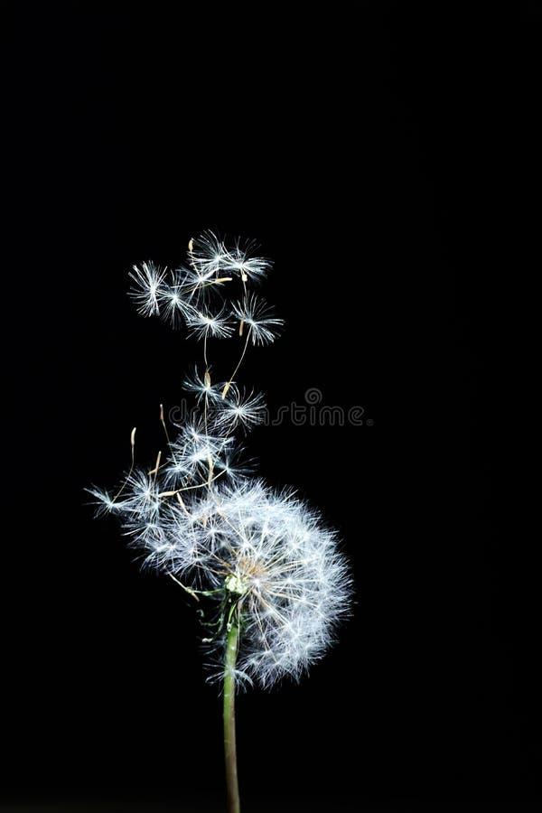 vol décoratif de pissenlit dans le vent photographie stock