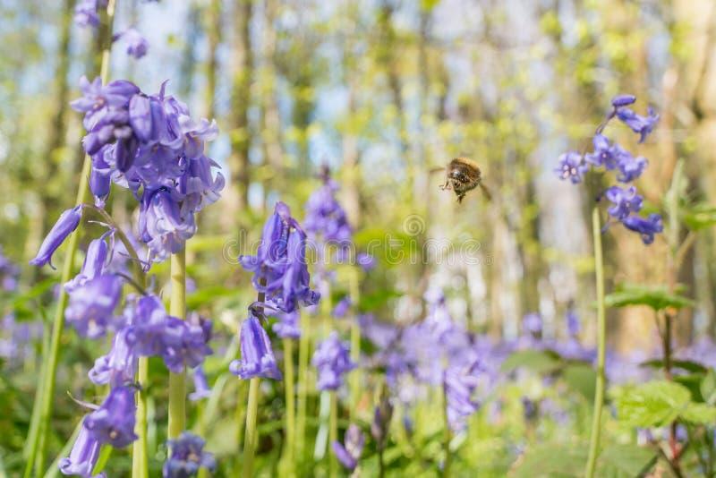 Vol d'abeille dans les jacinthes des bois photographie stock