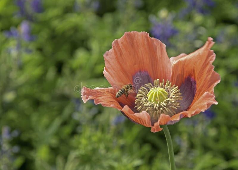 Vol d'abeille dans un pavot rouge photos stock