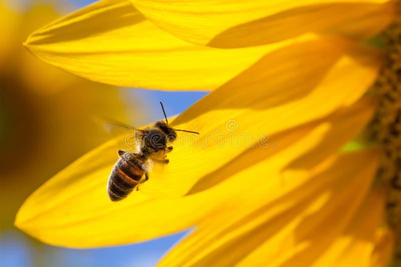 Vol d'abeille de miel, fond jaune de pétales de fleur Macro tournesol et insecte de vue recherchant le nectar Jour d'été ensoleil photos libres de droits