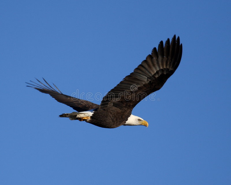 Vol d'aigle chauve photo stock