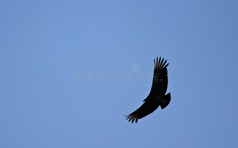 Vol d'aigle de vol image libre de droits