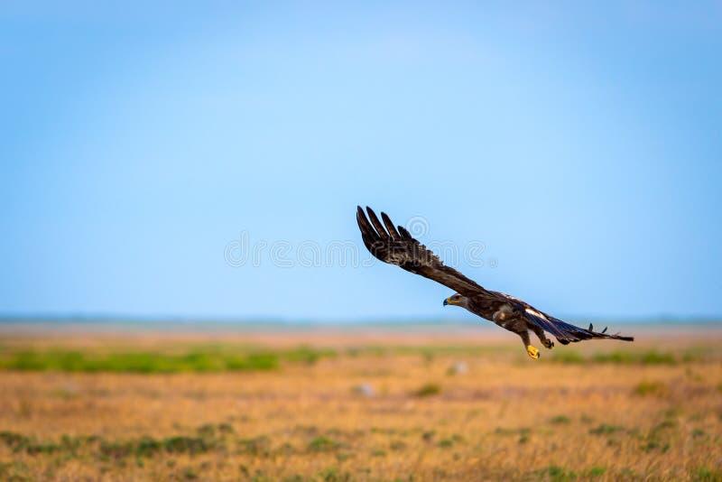 Vol d'aigle de steppe ou de nipalensis d'Aquila images libres de droits