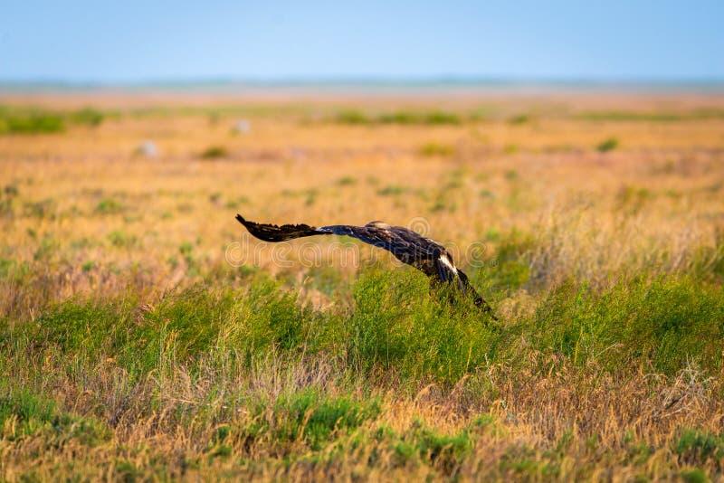 Vol d'aigle de steppe ou de nipalensis d'Aquila photo stock