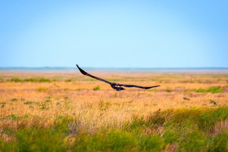 Vol d'aigle de steppe ou de nipalensis d'Aquila photo libre de droits