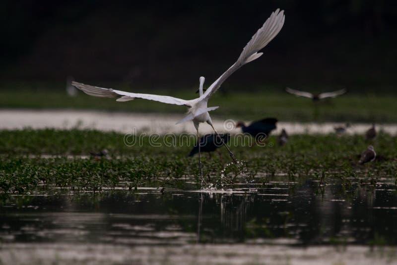 Vol d'aigrettes avec une prise de poisson à pleine envergure dans un milieu humide photo stock