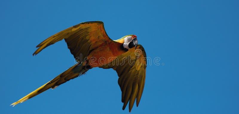 Vol d'ararauna d'arums d'ara de bleu et d'or images libres de droits