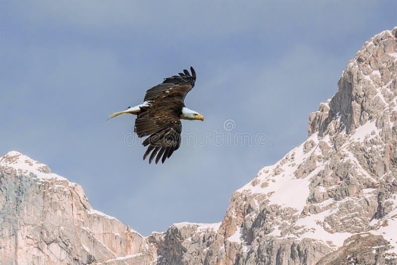 Vol d'Eagle au-dessus de hautes montagnes rocheuses et de ciel bleu photos libres de droits