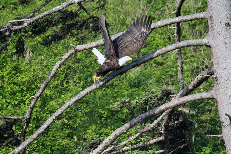 Vol d'Eagle chauve outre d'une branche à obtenir d'attaquer dans l'océan image libre de droits