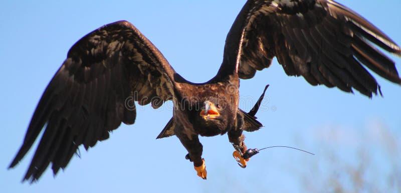Vol d'Eagle dans le ciel images stock