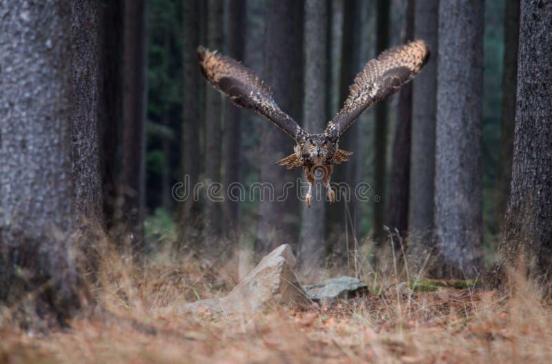 Vol d'Eagle Owl Bubo Bubo d'Eurasien dans la forêt, plan rapproché, W image libre de droits