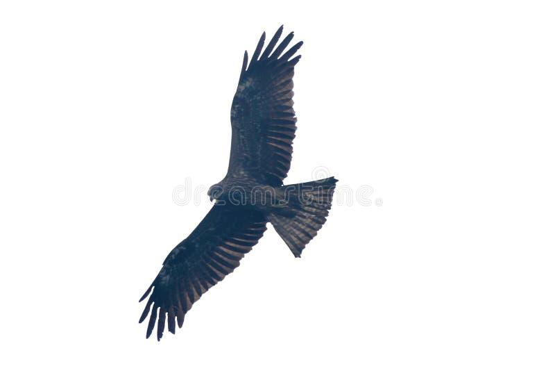 vol d'isolement d'oiseau de cerf-volant photo libre de droits