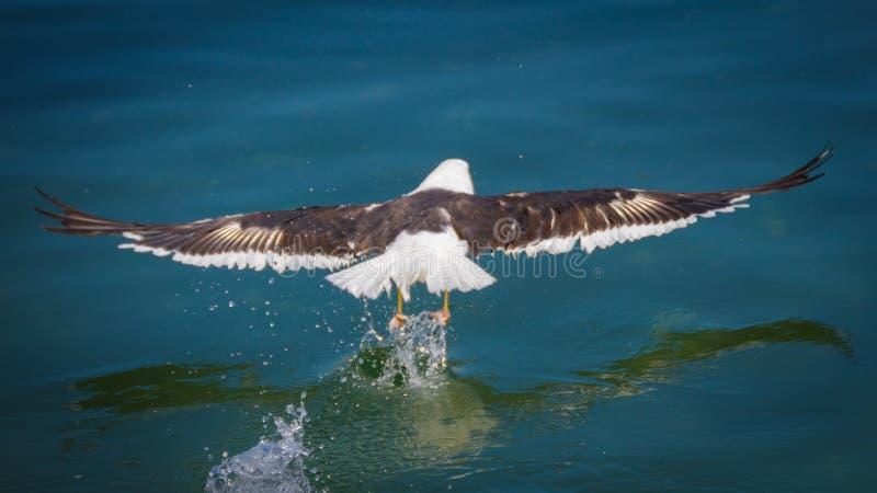 Vol d'oiseau au-dessus de l'océan image stock