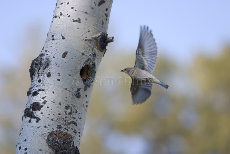 Vol d'oiseau bleu en arrière à l'emboîtement photo libre de droits
