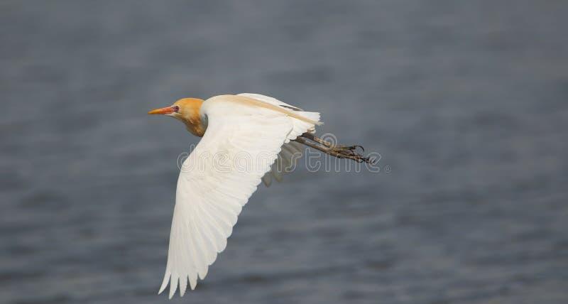 Vol d'oiseau de héron de bétail image libre de droits