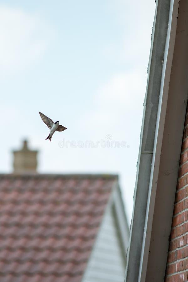 Vol d'oiseau de Martin de Chambre dans des gouttières de construction de logements pour alimenter des jeunes photo stock