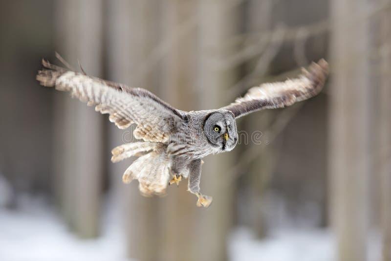 Vol d'oiseau Grand Grey Owl, le nebulosa de Strix, vol dans la forêt, a brouillé des arbres à l'arrière-plan Scène animale de fau photos libres de droits