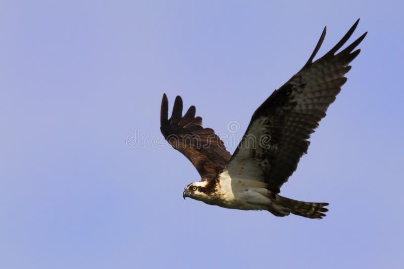 Vol d'Osprey photo libre de droits