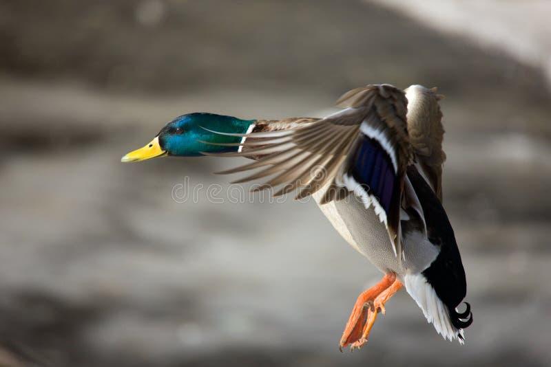 Vol d'un canard sauvage image libre de droits