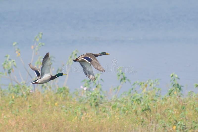Vol de canards de Mallard au-dessus du marécage image stock