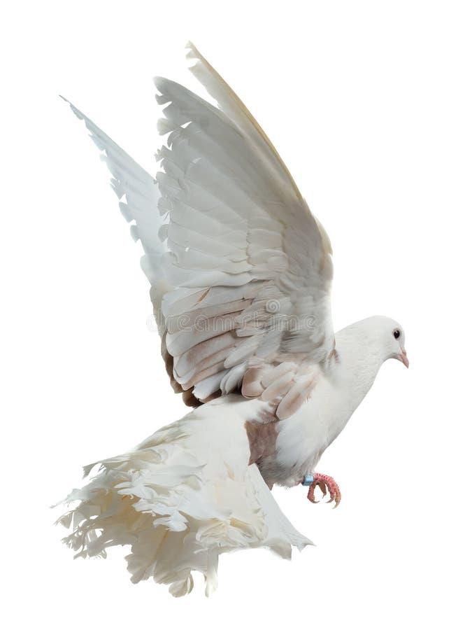 Vol de colombe de blanc haut images stock