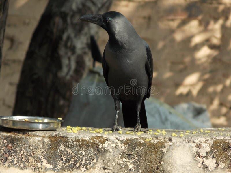 Vol de corneille d'oiseau photos stock