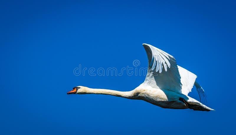 Vol de cygne contre le ciel bleu photos stock