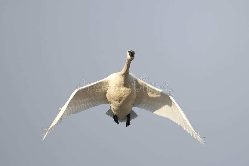 Vol de cygne de toundra aérien sur la migration de ressort photo libre de droits