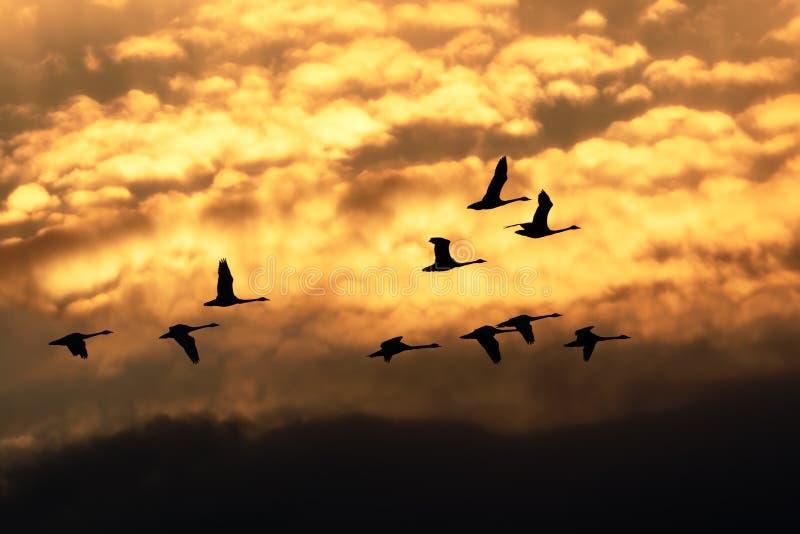 Vol de cygnes de toundra au lever de soleil images libres de droits
