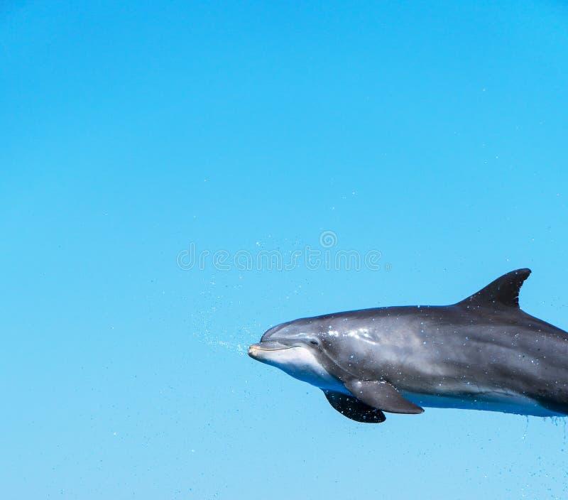 Vol de dauphin photo stock