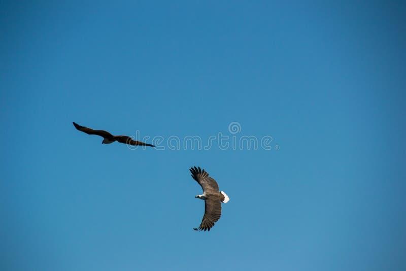 Vol de deux Eagles en ciel image libre de droits