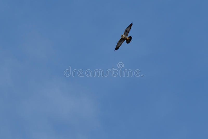 Vol de faucon pérégrin photos stock