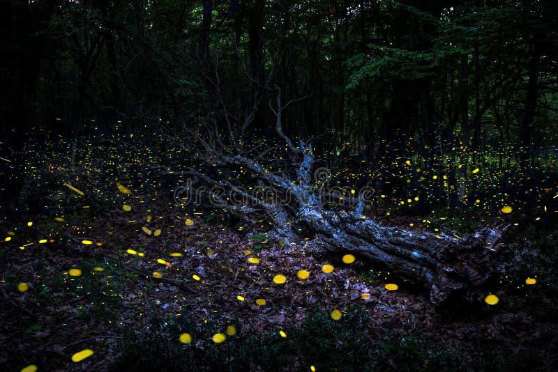 Vol de Frireflies autour d'un arbre tombé dans la forêt au crépuscule images stock