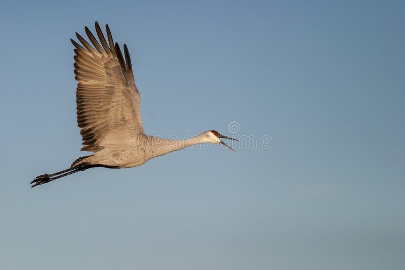 Vol de grue de Sandhill avec le bec ouvert avec le fond de ciel bleu photos libres de droits