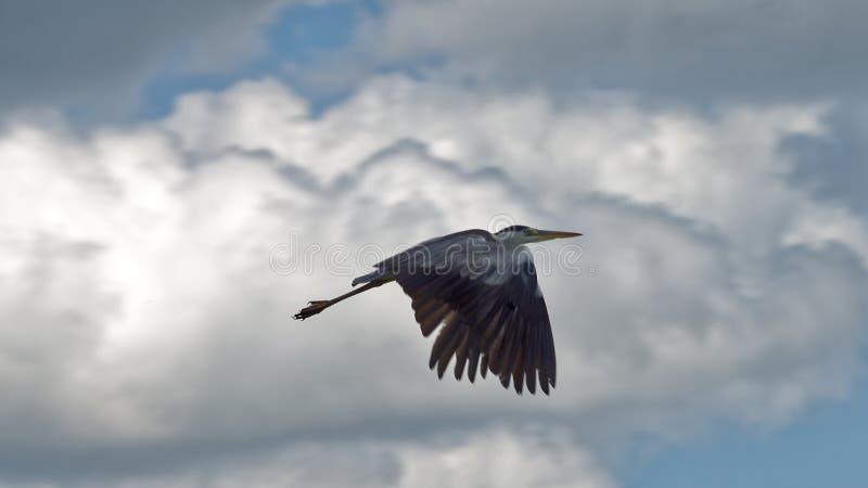 Vol de héron photographie stock libre de droits