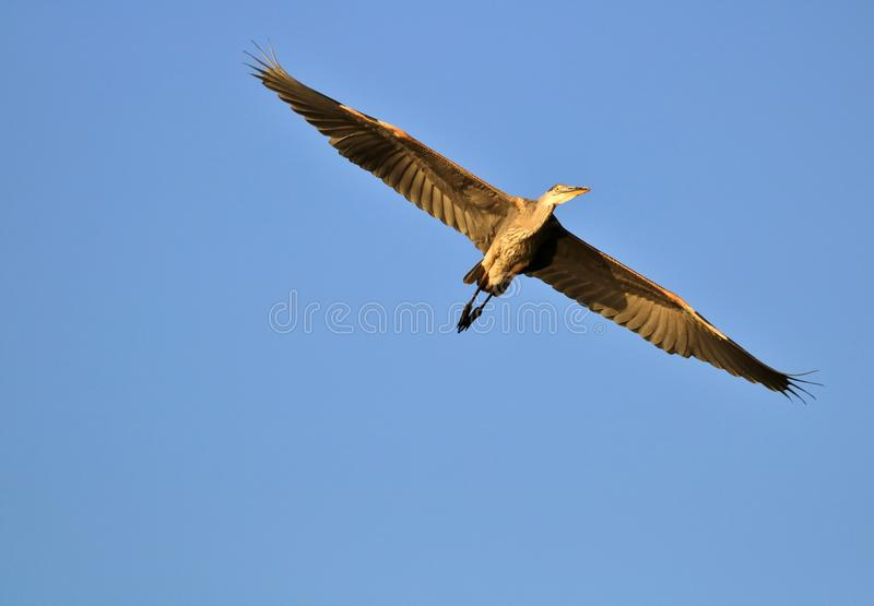 Vol de héron de bleu grand photographie stock
