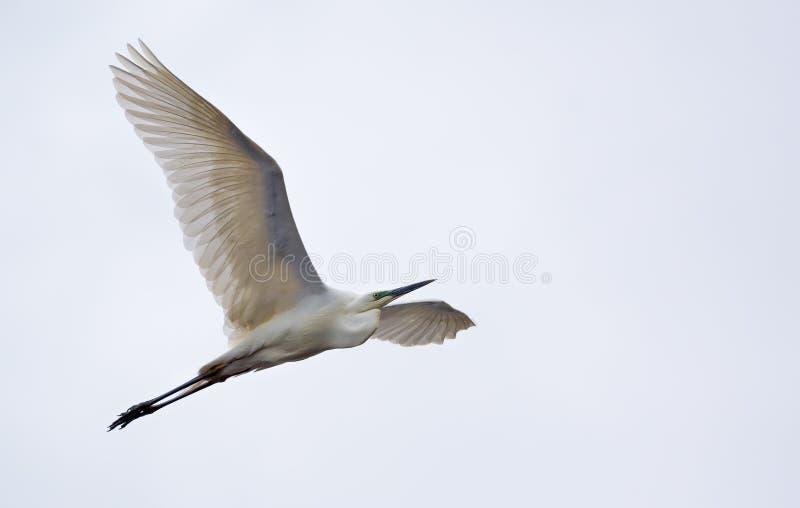 Vol de héron de Great White avec les ailes entièrement étirées et le ciel léger photos stock