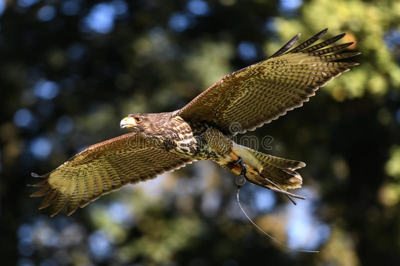 Vol de Harris Hawk images libres de droits