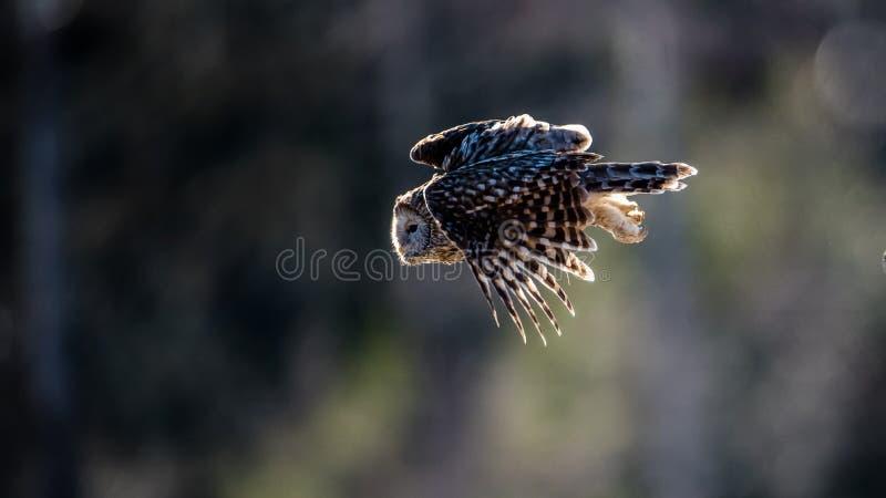 Vol de hibou d'Ural contre la lumière pour attraper une proie photo libre de droits