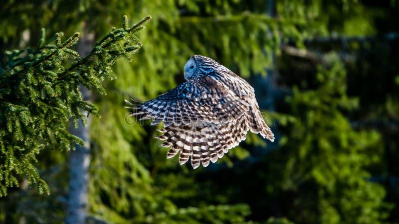 Vol de hibou d'Ural dans la forêt de sapin avec le soleil sur son dos image libre de droits