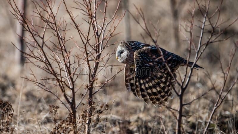 Vol de hibou d'Ural entre les buissons image stock