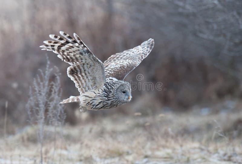 Vol de hibou d'Ural (uralensis de Strix) dans une forêt près de réserve naturelle de Reci image stock
