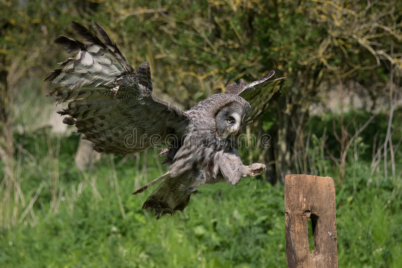 Vol de hibou de grand gris images libres de droits