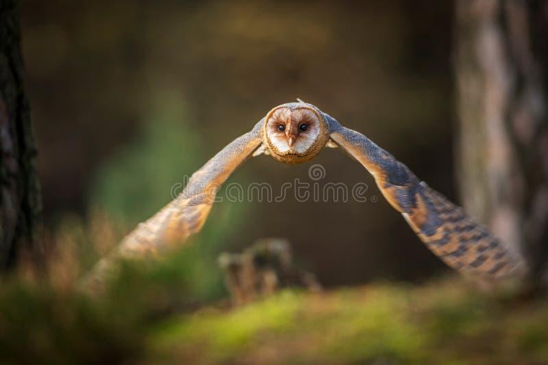 Vol de hibou de grange dans la forêt images libres de droits