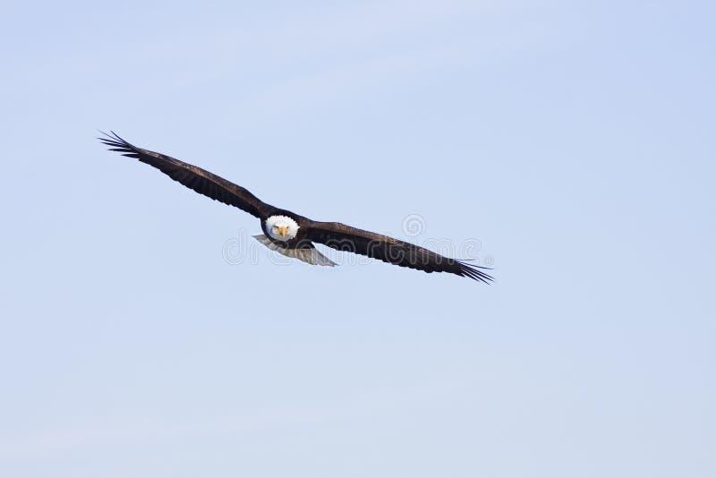 Vol de l'aigle images stock