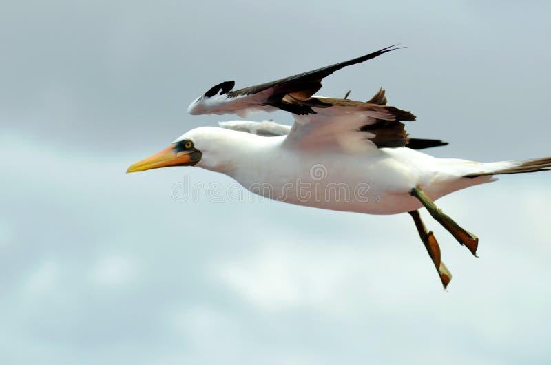 Vol de l'oiseau marin au-dessus de l'oc?an calme photo stock